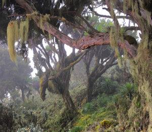 DRC Trees