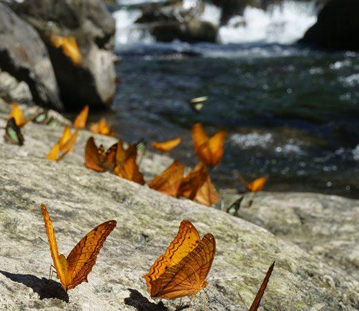 burma butterflies
