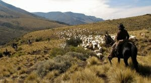 Herding sheep on horseback with gauchos in Argentina