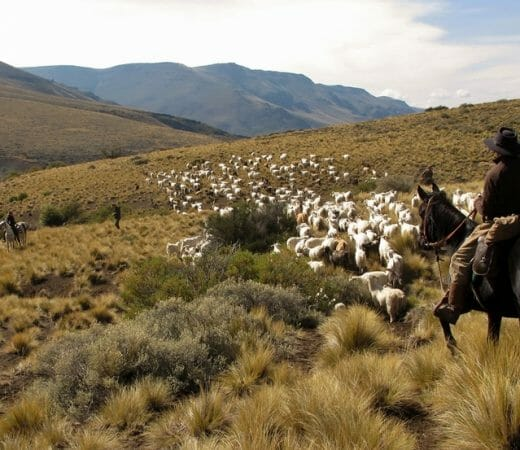 Herding sheep on horseback with gauchos in Argentina