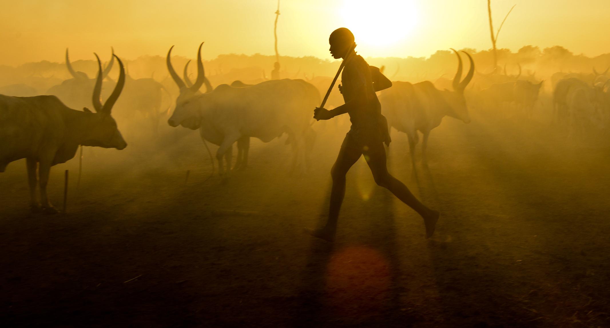 Herding cattle at dusk, South Sudan
