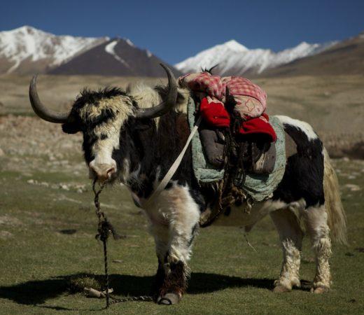Yak in Afghanistan