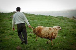 Sheep herding in Armenia (c) Tom Allen