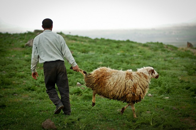 Sheep herding in Armenia (c) Tom Allen