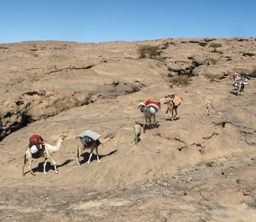 Camels walking along side Secret Compass team on the Tibesti Plateau, Chad