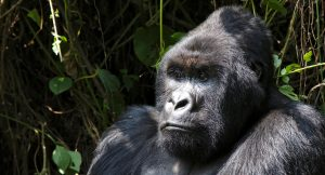 Gorilla in the DRC