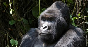 DRC gorilla imagery (c) Glen Downton