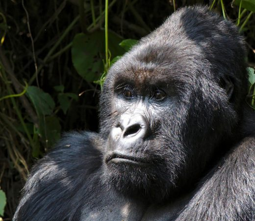 DRC gorilla imagery (c) Glen Downton