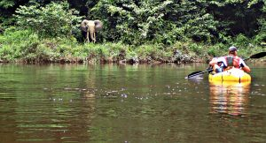 Rare imagery of an African elephant over looking the canoeist paddle by down the Gabon river