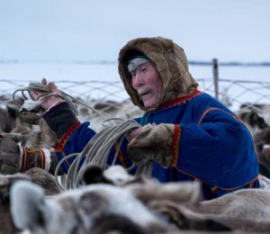 Nenets nomads on the Yamal Peninsula herding up their deer for the following day