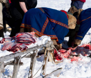 The Nenet nomads prepare an evening meal of Reindeer meat eaten raw or cooked.