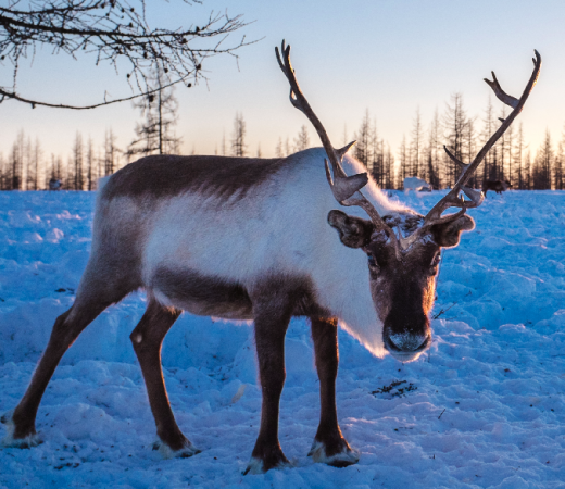 Reindeer on Nenets expedition