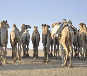 A camel pack in the Bayuda Desert, Sudan