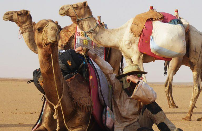 sudan-camel