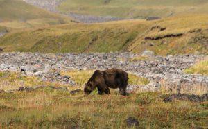Brown Bear in Russia's Kamchatka