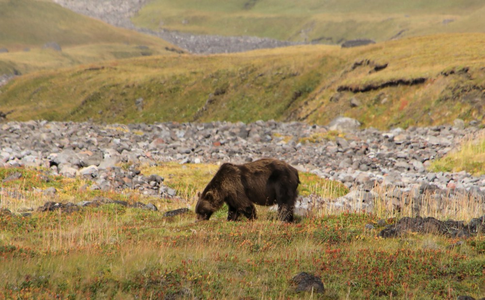 Brown Bear in Russia's Kamchatka