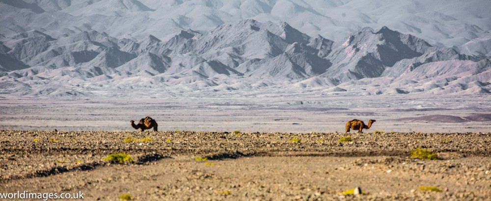 Camels in Iran's Lut desert