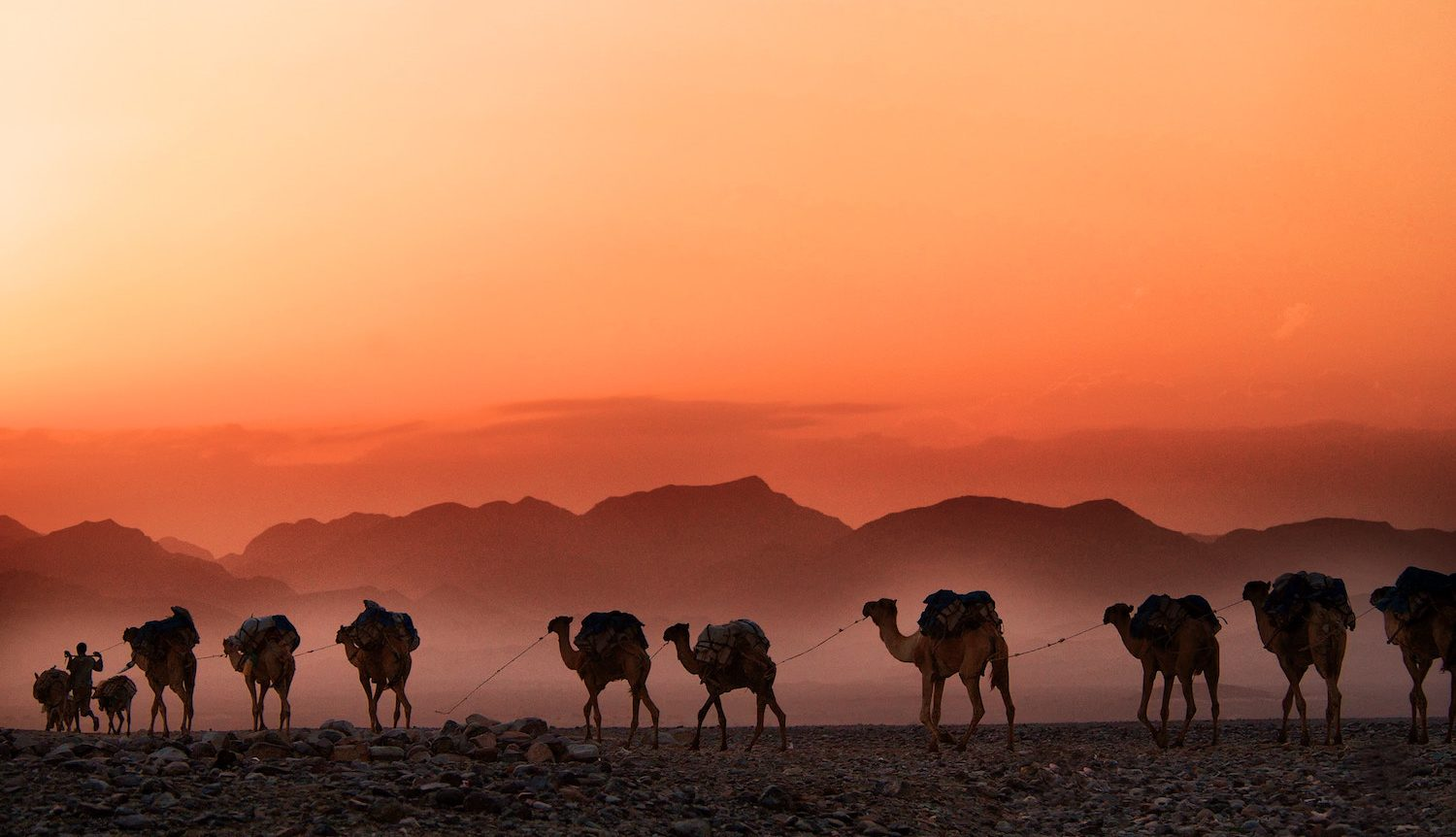 camels at sunset