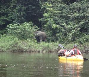 Congo Elephant