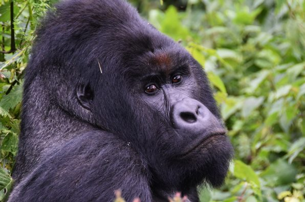 Mountain Gorilla in the Virunga National Park