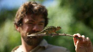 pygmy chameleon, Madagascar