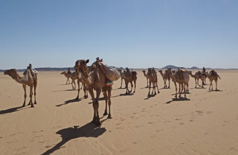 Camels in the Bayuda