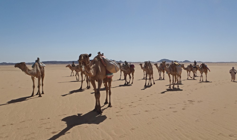 Camels in the Bayuda