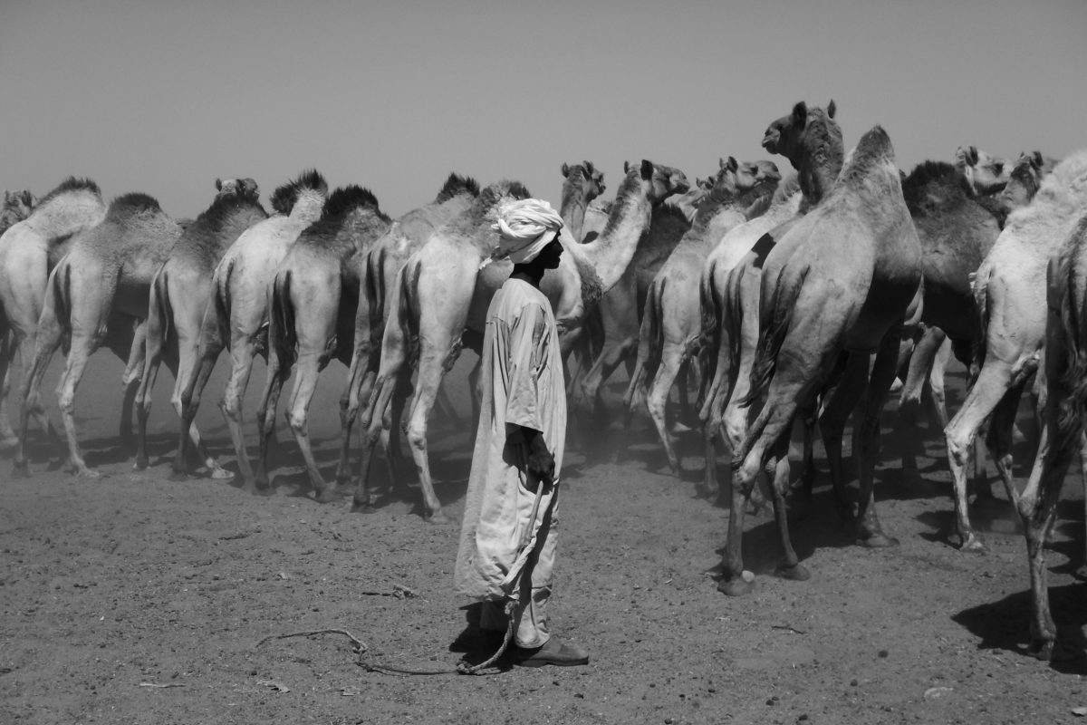 camels in the Bayuda desert