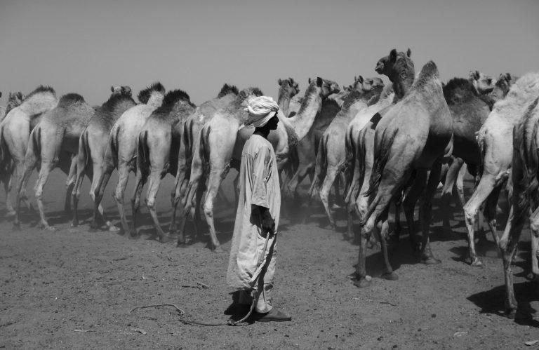 camels in the Bayuda desert