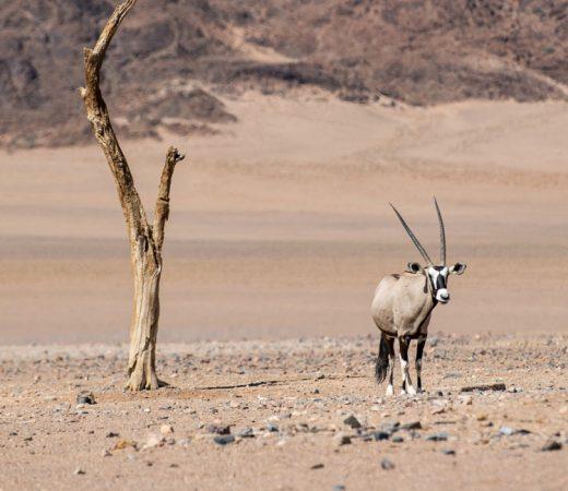 oryx-namibia