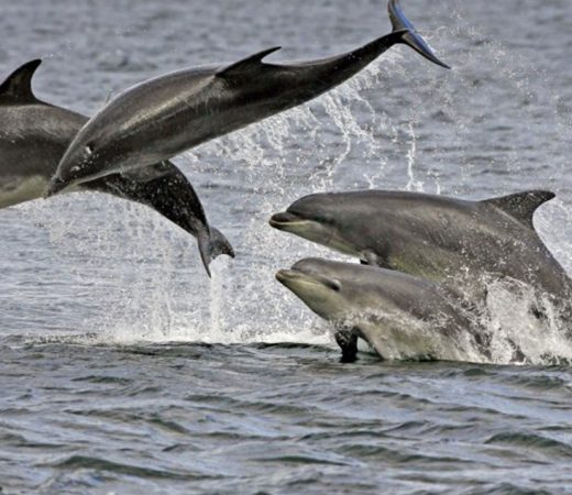 dolphins-in-scotland
