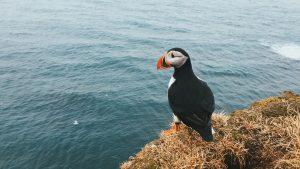 puffins-faroe-islands