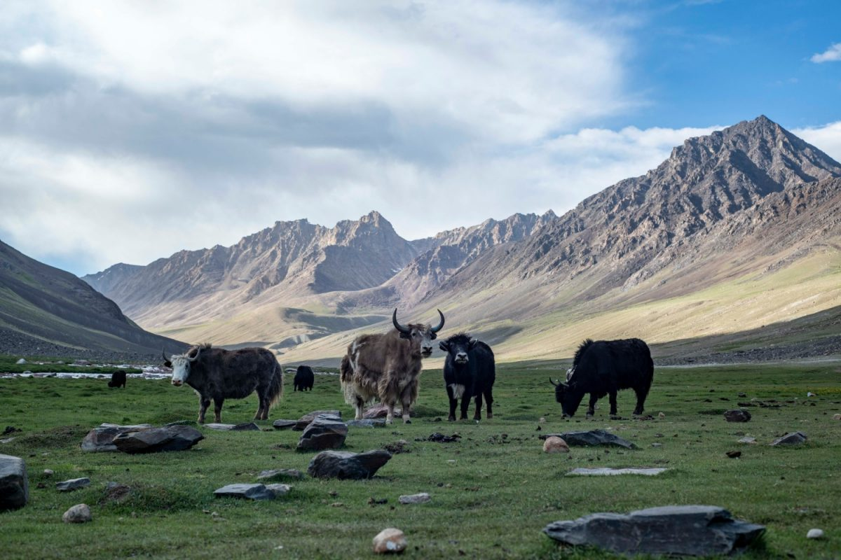 Yaks graze in the Wakhan Corridor
