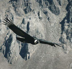 chilean-condor